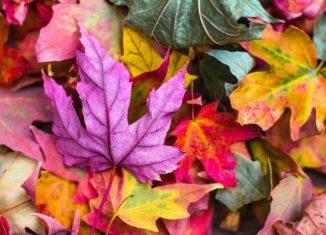 frunze colorate