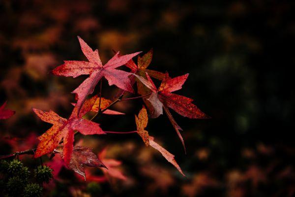 frunze de culoare rosie