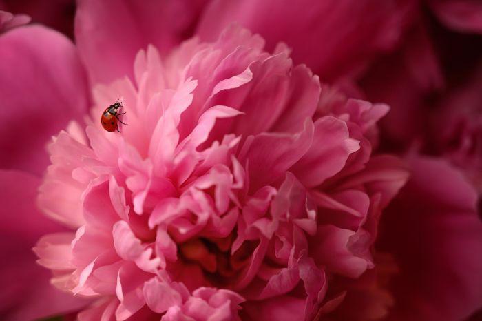 Flori aducătoare de noroc - bujori